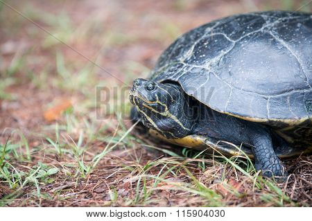 Snapping Turtle Laying Its Eggs