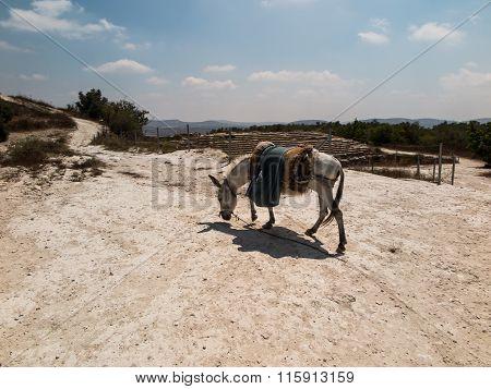 The Donkey Saddled Resting Prepared For Transport. Land Biblical Holy Land,