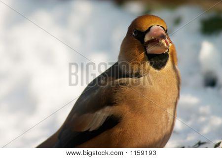 Gormandizer Bird
