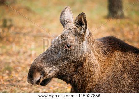 Close up of head of wild female moose, elk