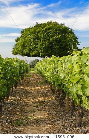 Vineyards Of Frontenas Village, Beaujolais, France