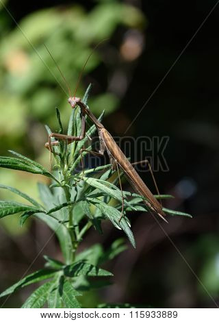 Mantis, sitting on the grass.