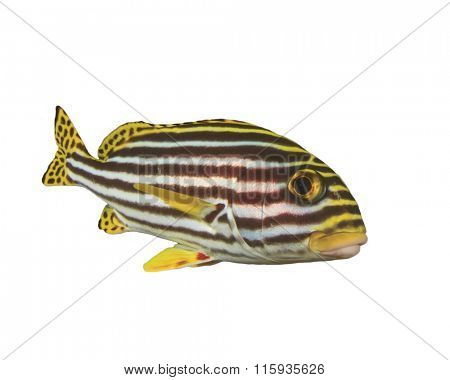 Live Oriental Sweetlips fish sioated white background underwater cut out