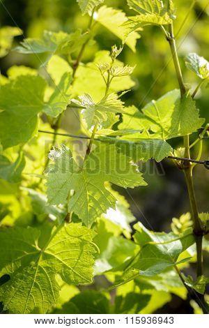 Leaves Of Vines