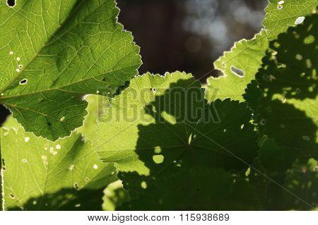Mallow Plant Leaf