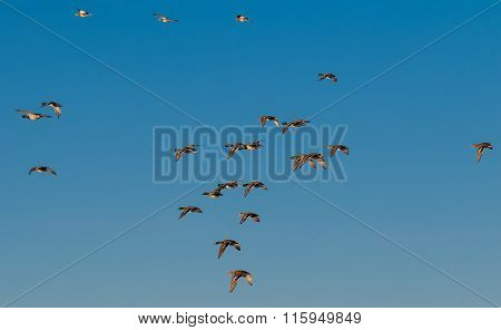 Flock Of Mallards In The Air