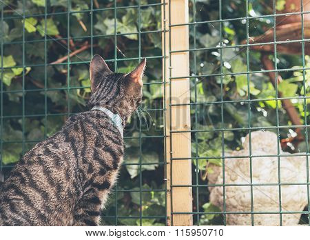 Curious Young Tabby Cat Lookign Through Fence In Garden. Back View.