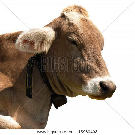 Head Of Brown Cow (bos Primigenius Taurus) With Cowbell
