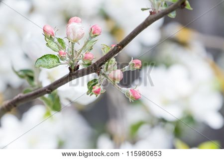 Apple tree with pink flower unfolded buds