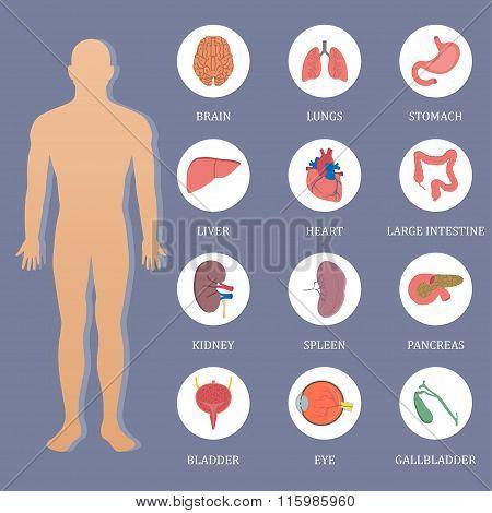 Vector Human Organs Flat Style Banner.vector Symbols. Vector Illustration