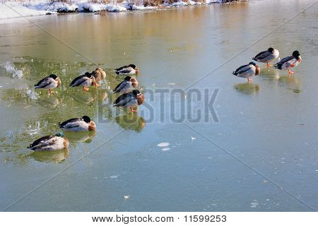 ducks and mallards in the frozen lake birds in winter with snow and cold temperatures below 0 poster