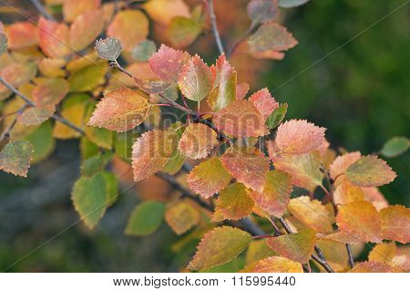Colorful autumn, fall. Leaves in the taiga forest, close-up on birches, Betula pubescens.