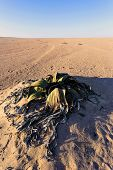Splendid example of Welwitschia mirabilis is estimated to be more than 1500 years oldErongo Namibia Amazing desert plant living fossil Welwitschia Mirabilis in Namib Desert poster