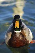 Drake Mallard Duck (Anas platyrhynchos)on a lake poster