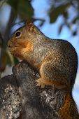 a squirrel sitting in a tree eating an acorn poster