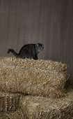 barn cat sitting on top of bales of straw poster