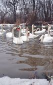 A large number of swans are elegantly posing by an icy river bank in a charming, peaceful way. poster