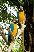 2 yellow macaw parrots in birds park bali indonesia poster