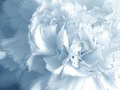 fine blue-white flower close up. background for design artwork poster