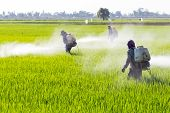farmer spraying pesticide in the rice field protection pest poster