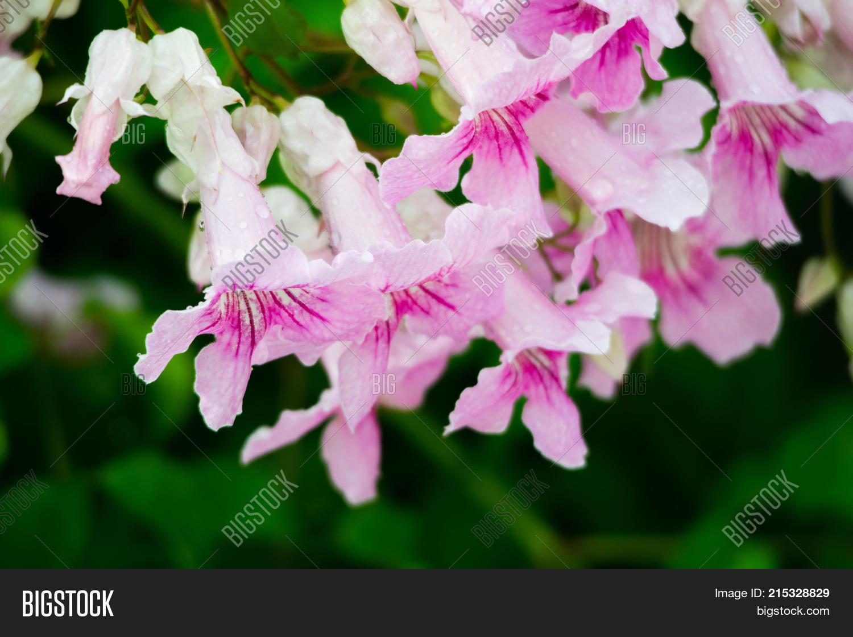Pink trumpet vine image photo free trial bigstock pink trumpet vine podranea ricasoliana flower spain mightylinksfo