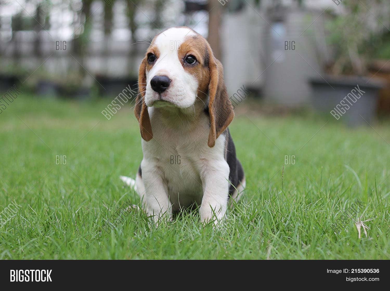 Dog Beagle Early Image Photo Free Trial Bigstock