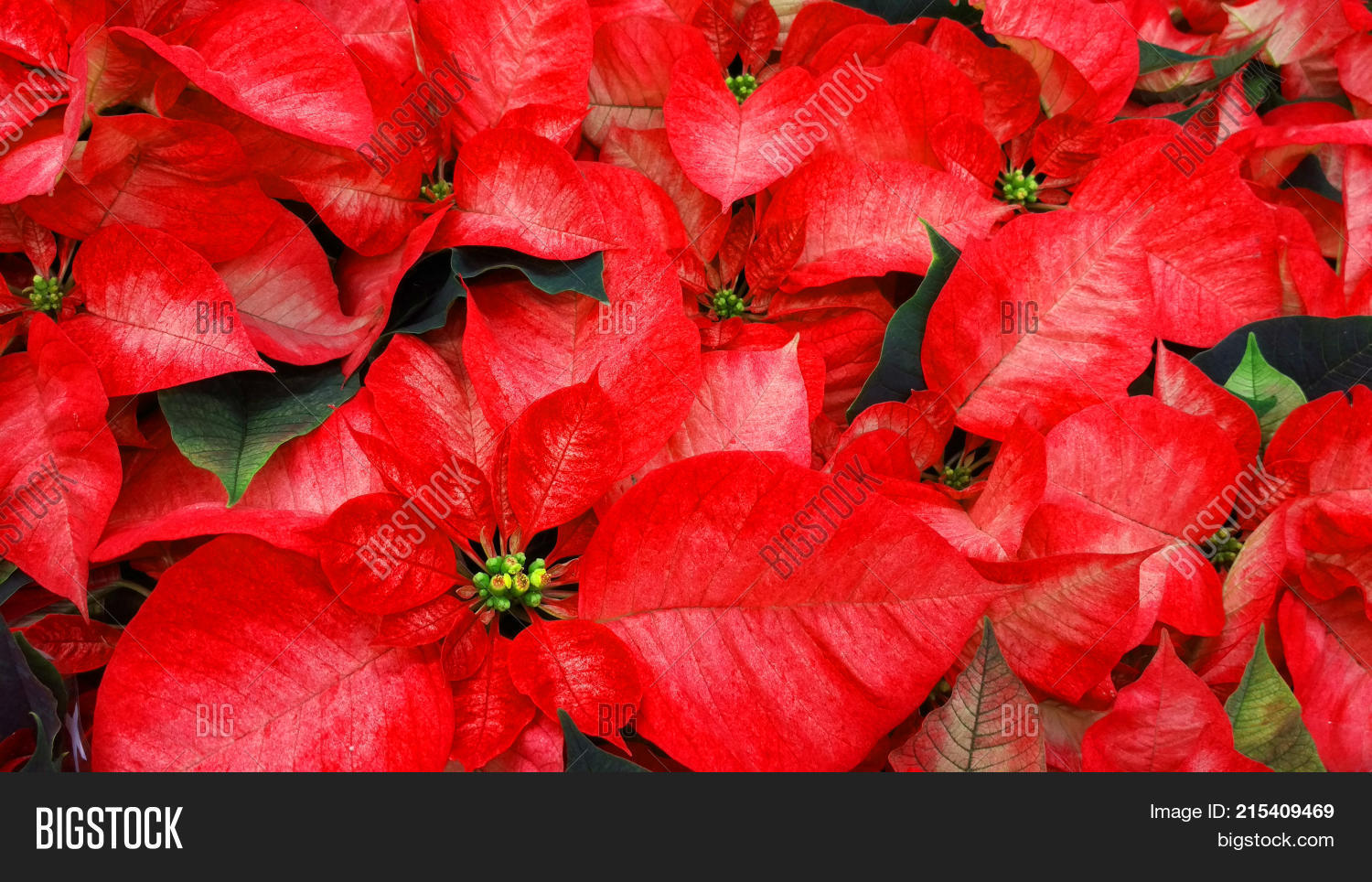 Beautiful Red Poinsettia Flowers. Nochebuena plants that bloom in winter. Euphorbia used to decorate
