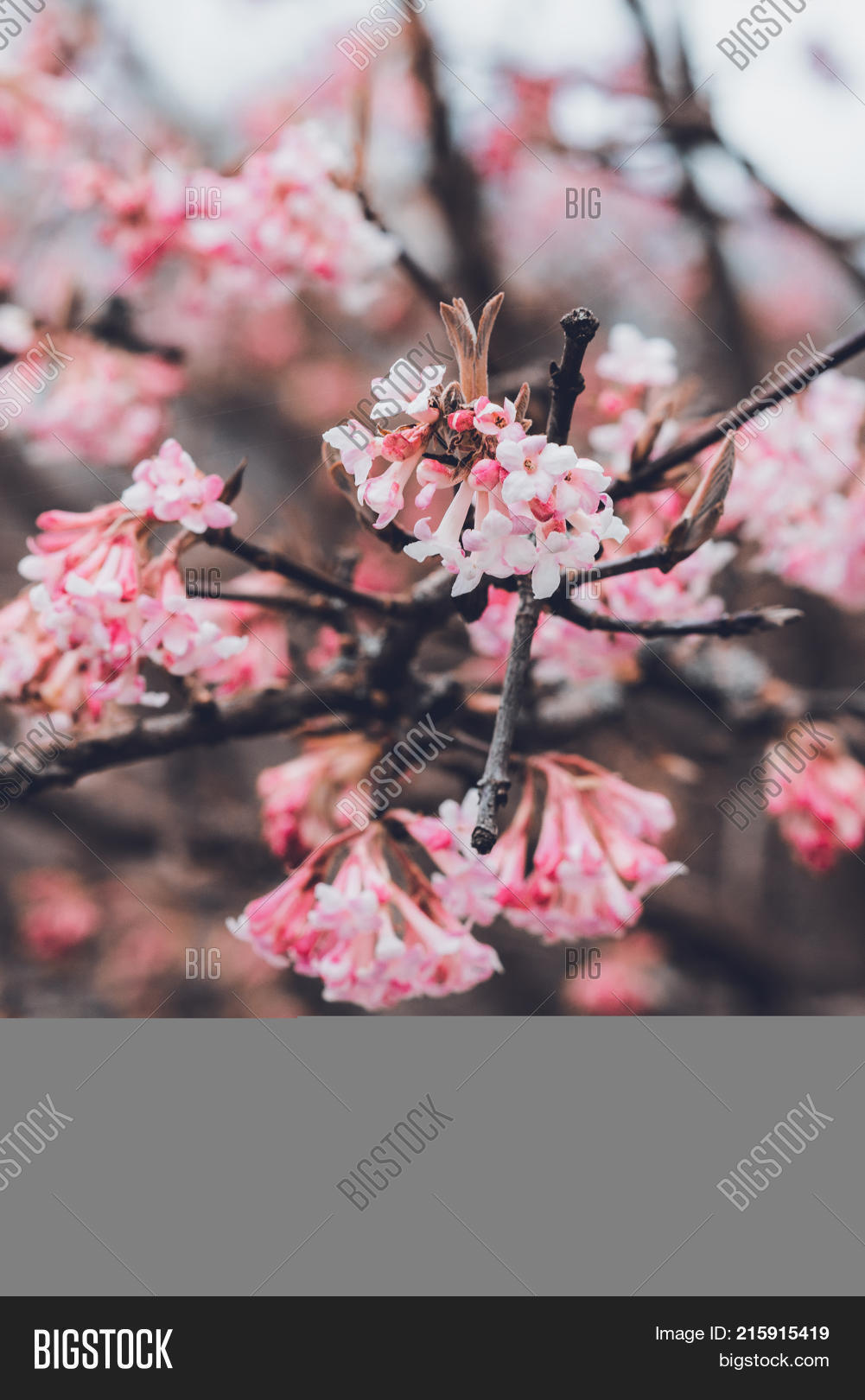 Dainty Pink Blossom On Image Photo Free Trial Bigstock