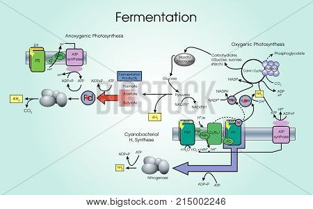 Fermentation is a metabolic process that converts sugar to acids gases or alcohol. It occurs in yeast and bacteria and also in oxygen-starved muscle cells as in the case of lactic acid fermentation. Chart vector.