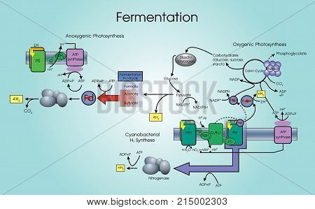 Fermentation process that converts sugar to acids gases or alcohol. It occurs in yeast and bacteria and also in oxygen-starved muscle cells as in the case of lactic acid fermentation.