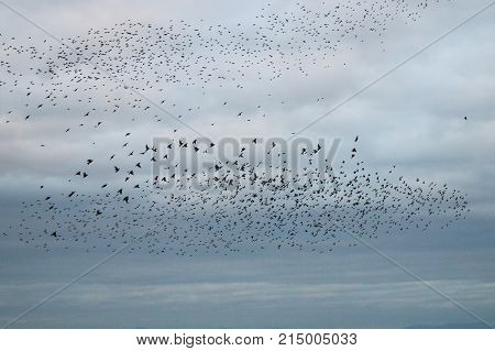 A flock of starlings gathering into a murmuration against a grey cloudy sky