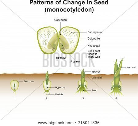Monocotyledon. showing hypogeal development in which the cotyledon remains invisible within the seed underground. Education info graphic vector.