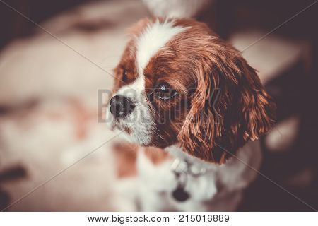 Cute puppy dog pet Cavalier King Charles Spaniel