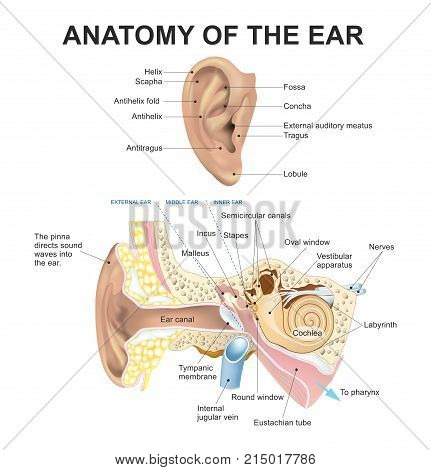 Anatomy of Ear. Body human part Illustration vector.