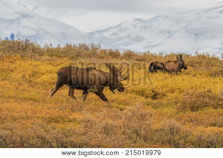 a bull and cow Alaska moose in National park