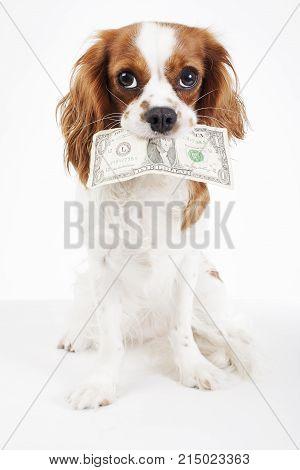 Dog costs. Animal pet costs. Dog holding money dollar bill on isolated white background. Studio photo. Dog with money.