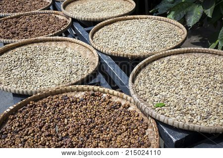 A row of the plates with raw beans of luwak coffee on the wooden table dries. Kopi luwak or civet coffee is one of the world's most expensive and low-production varieties of coffee