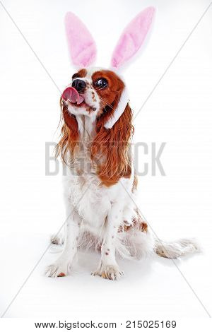 Easter bunny rabbit ears on dog puppy. Cute funny dog photo. Cavalier king charles spaniel puppy wearing rabbit costume. Bunny wear. Isolated white background.