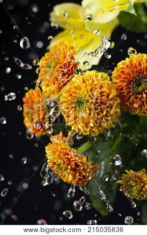 A photo of chrysanthemum flowers and water drops floating in the air. Chrysanthemums, sometimes called mums or chrysanths, are flowering plants of the genus Chrysanthemum in the family Asteraceae. Selective focus.