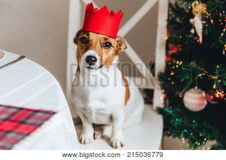 Funny jack russell terrier with red crown poses against decorated New Year tree. Dog as symbol of coming New Year. Beutiful pet sits on chair against wonderful Christmas tree. Holidays concept