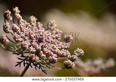 Pink flower of wild carrot in full splendor