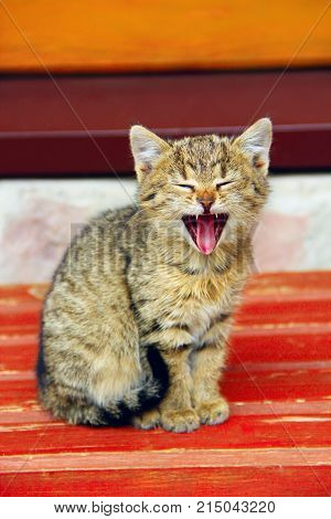 grey small kitten yawns wide opened the mouth. Small amusing kitten yawns showing its mouth