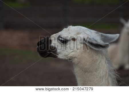 Portrait of a South American home white Lama Glama closeup