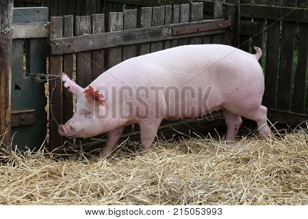 Young pig sow on hay and straw at pig breeding farm