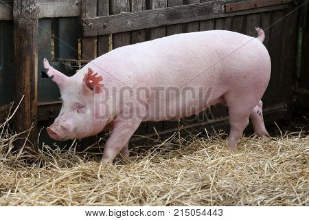 Young domestic peaceful happy pig runs across in the pigpen