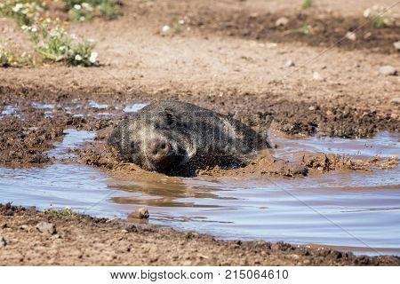 Wild boar taking a mud bath to cool down on a summer day.
