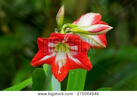 Closeup red flower of wet Hippeastrum, perennial herbaceous bulbous plant with raindrop, blurred green background