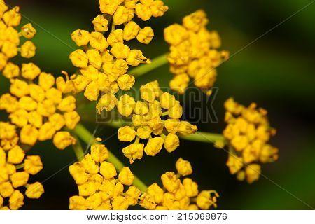 Golden Alexanders (Zizia aurea) bloom in an Illinois prairie