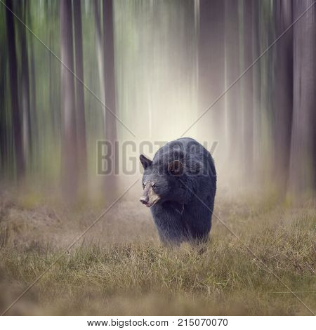 Black bear walking in the woods