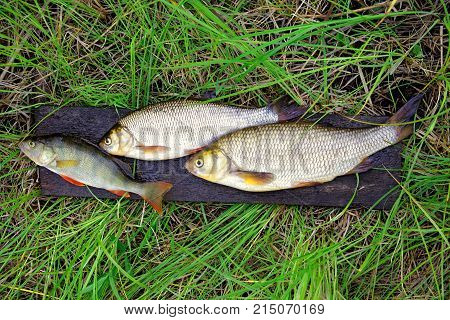 Freshwater fish - perch and ide are on the wet board in the grass